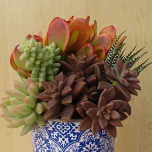 Succulents for containers